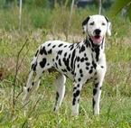 2 Les chiens de Florence Domino Notre mâle Dalmatien