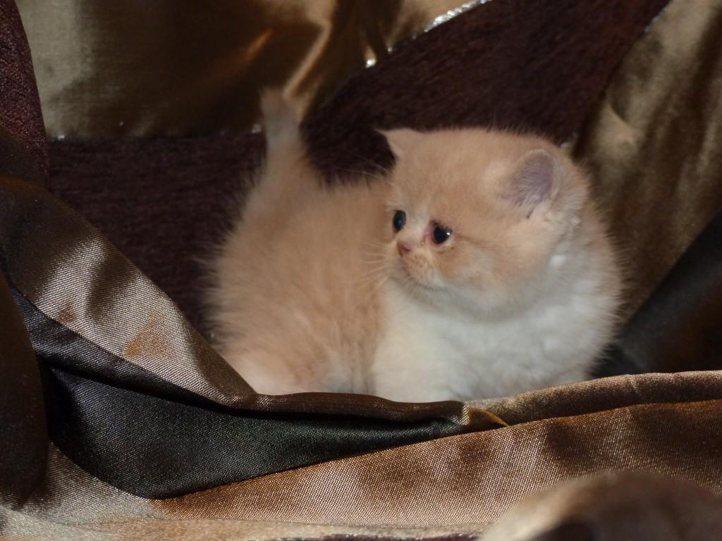 OBELIX - mâle exotic shorthair crème et blanc - cliquez sur ma photo
