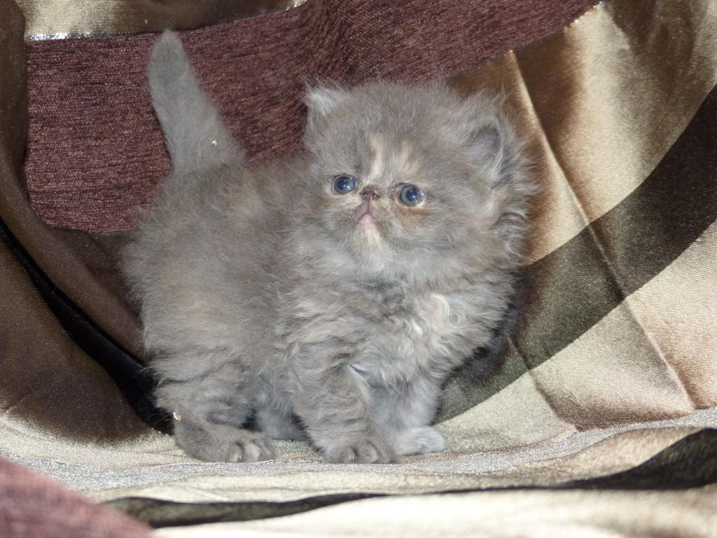 ODYSSÉE - femelle persan bleue crème - cliquez sur ma photo