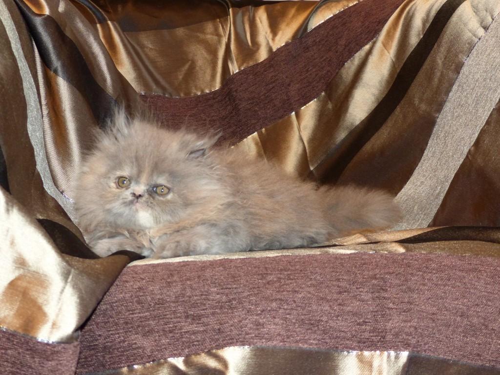 OMBRE Femelle persan bleue crème – Cliquez sur ma photo