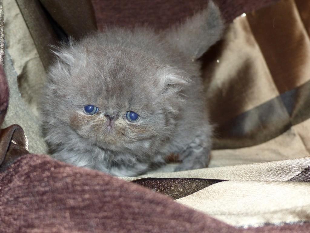 ORCHIDÉE – femelle persan bleue crème – cliquez sur ma photo
