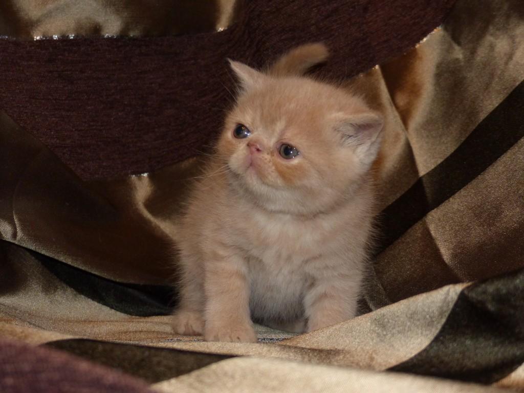 ORLY - mâle exotic shorthair crème et blanc - cliquez sur ma photo