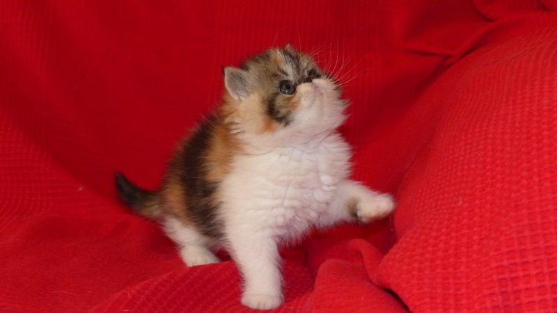 Lolita - chaton exotic shorthair
