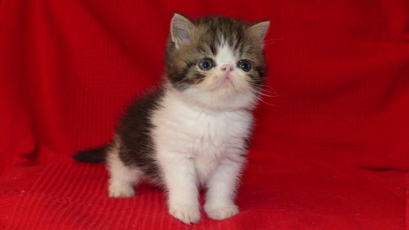 Lucky - Chaton exotic shorthair