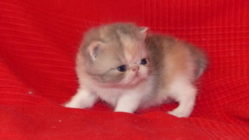 Lady - chaton exotic shorthair