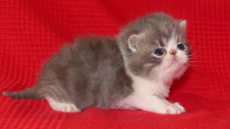 Léon - chaton exotic shorthair