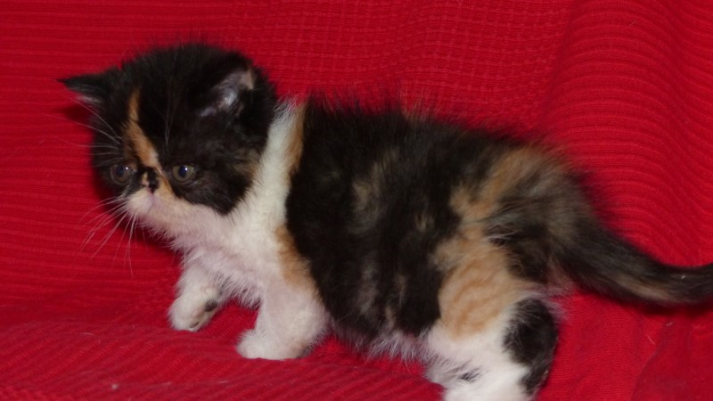 Luna - chaton exotic shorthair