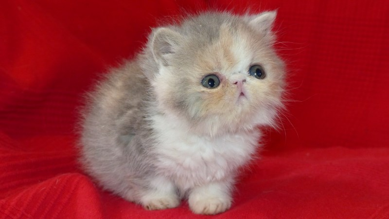 Lila - chaton exotic shorthair