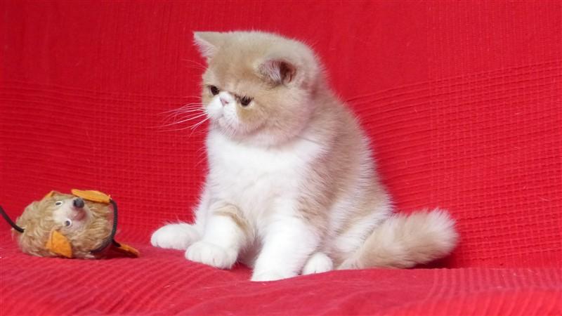 Léo - mâle exotic shorthair crème et blan - CLIQUEZ SUR MA PHOTO
