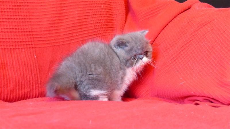 LUMBO - chaton exotic shorthair mâle bleu et blanc- CLIQUER SUR MA PHOTO