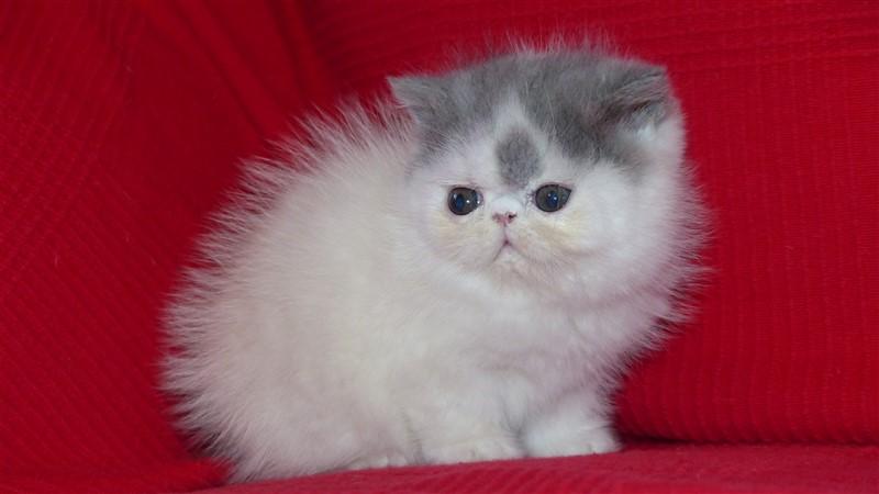 LUIGI chaton exotic shorthair mâle bleu et blanc van - Cliquez sur ma photo