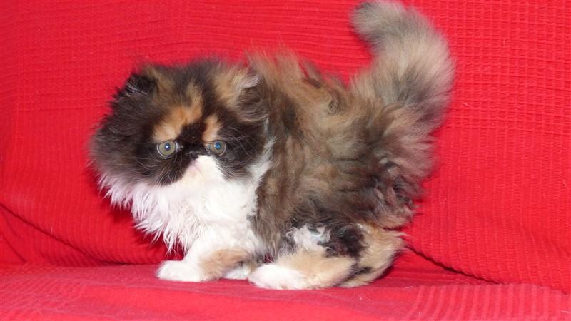 LOLIPOP chaton persan femelle black tortie et blanc. - Cliquez sur ma photo