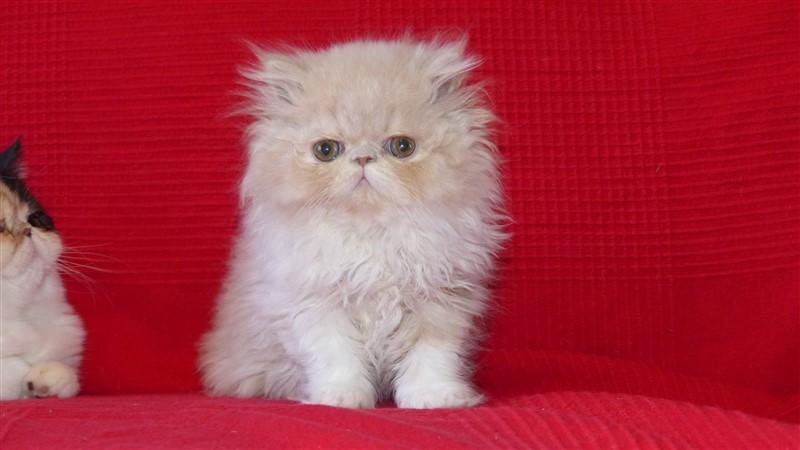 Love chaton persan femelle crème et blanc - Cliquez sur ma photo
