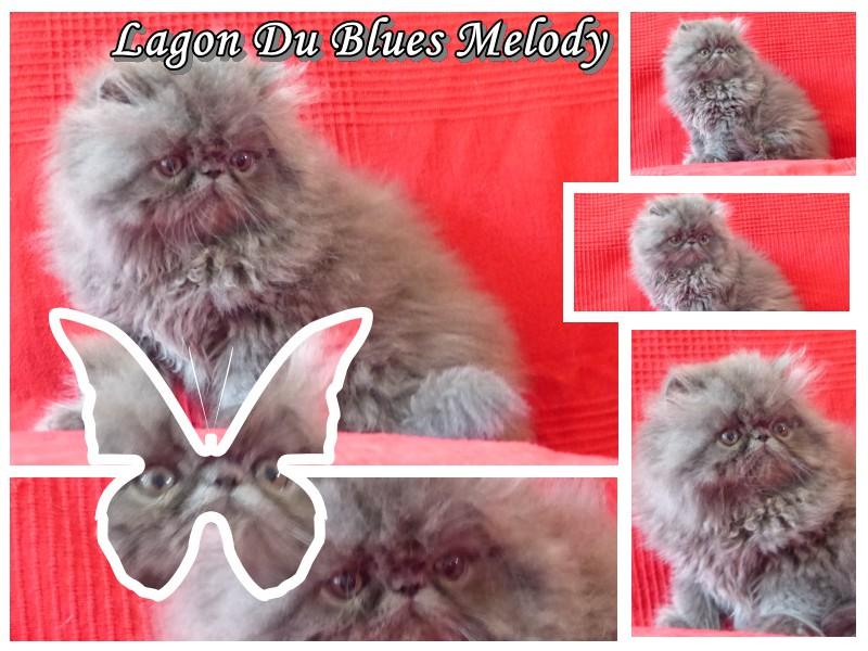 Lagon - mâle persan bleu - CLIQUER SUR MA PHOTO