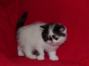 Jackson, chaton exotic shorthair noir et blanc van