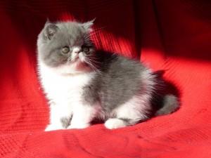 Jasmine, chaton femelle bleu et blanc