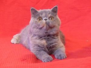 Jazzy Blue - femelle bleue crème