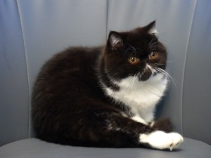 Indra du Blues Melody - femelle exotic shorthair noir & blanc