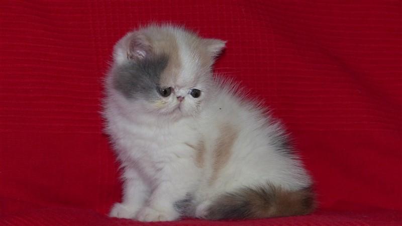 Réservée - Mya - femelle blue tortie et blanc arlequin - cliquer sur ma photo