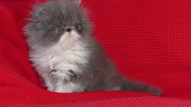 Réservé - Magnum - mâle persan bleu et blanc - cliquer sur ma photo
