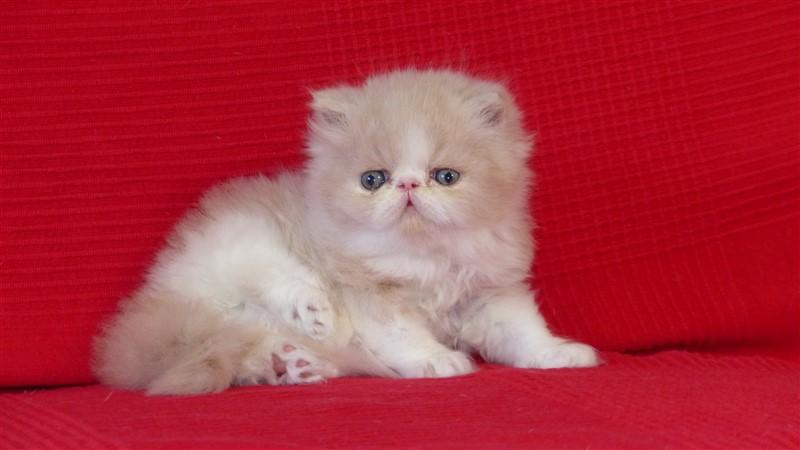 RESERVE - Mougli - mâle persan crème et blanc - cliquer sur ma photo