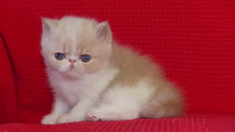 RESERVEE Mi-laine, femelle exotic shorthair crème et blanc - cliquer sur ma photo