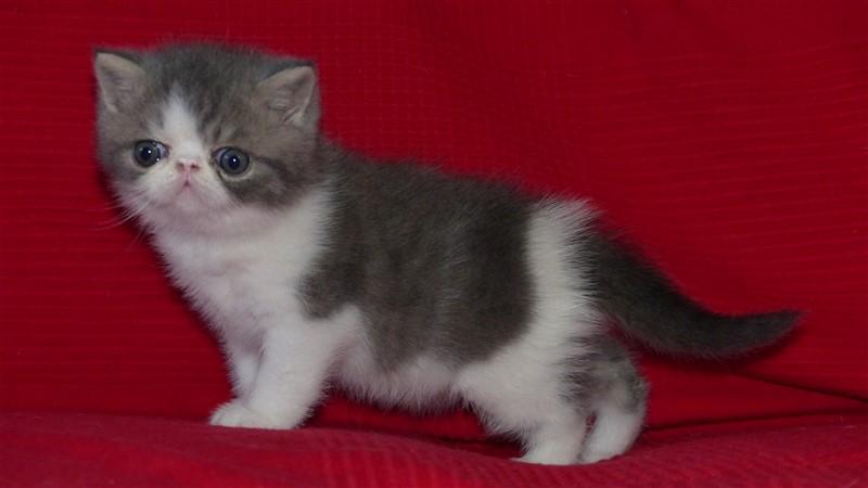 Master boy - mâle bleu blotched tabby et blanc - cliquer sur ma photo