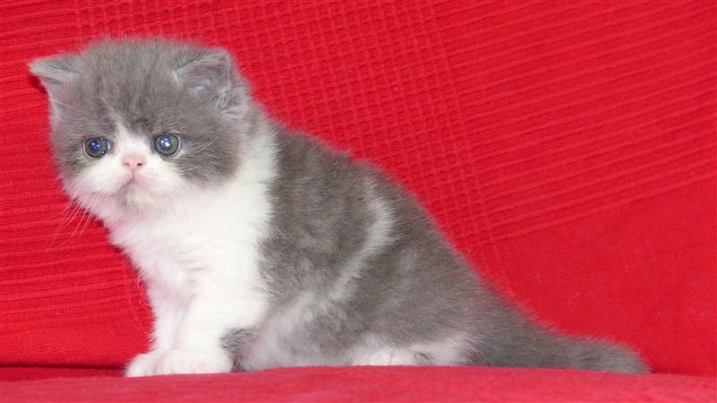 Myrtille - femelle exotic shorthair bleu et blanc - cliquer sur ma photo