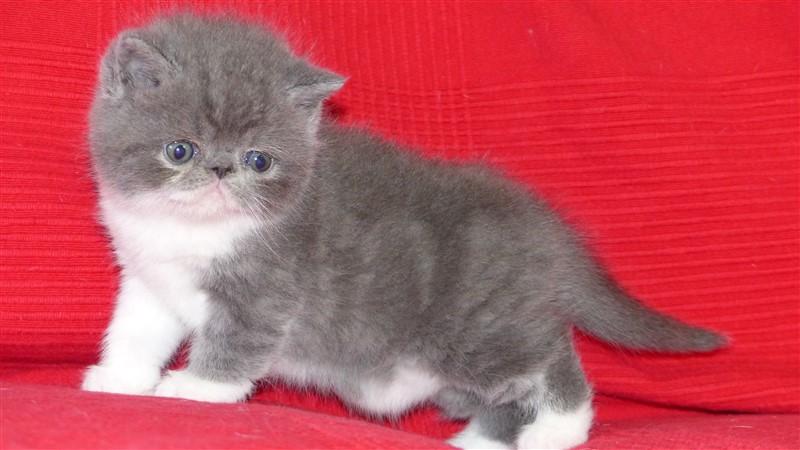 RESERVE - Monkey me, mâle exotic shorthair bleu et blanc - cliquer sur ma photo