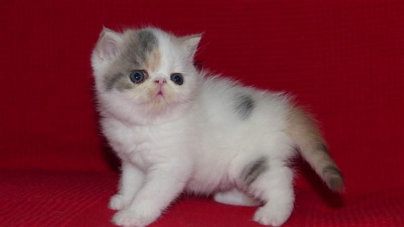 MELBA - chaton exotic shorthair femelle bleu crème et blanc arlequin