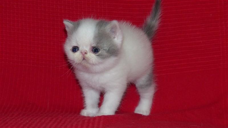 MURPHY - chaton exotic shorthair male bleu tabby et blanc van