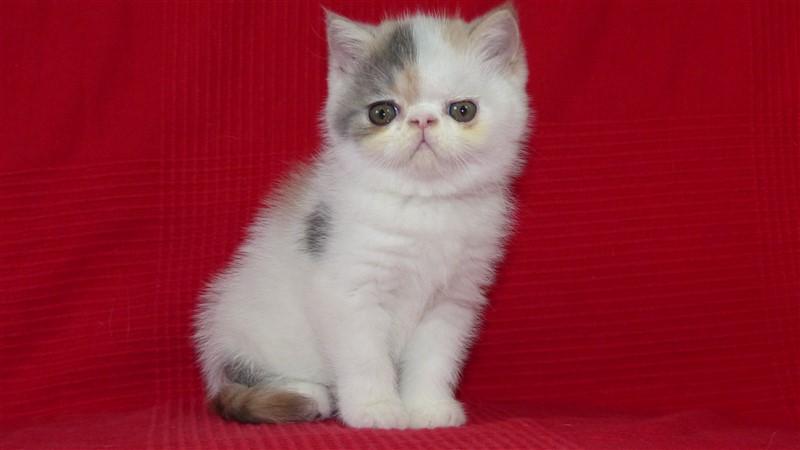 MADISONE - chaton exotic shorthair femelle bleu crème et blanc arlequin