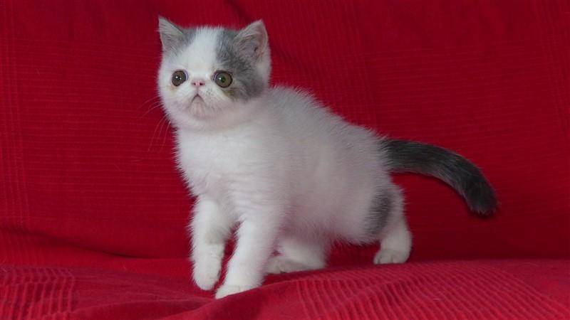 Murphy chaton exotic shorthair mâle bleu tabby et blanc van