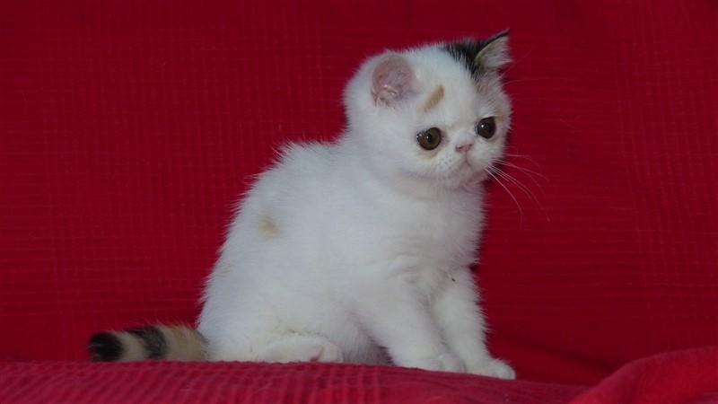 Maya chaton exotic shorthair femelle black tortie et blanc van