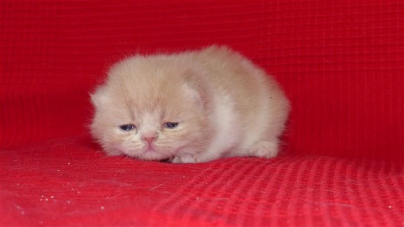 M1 Mâle chaton exotic shorthair crème et blanc