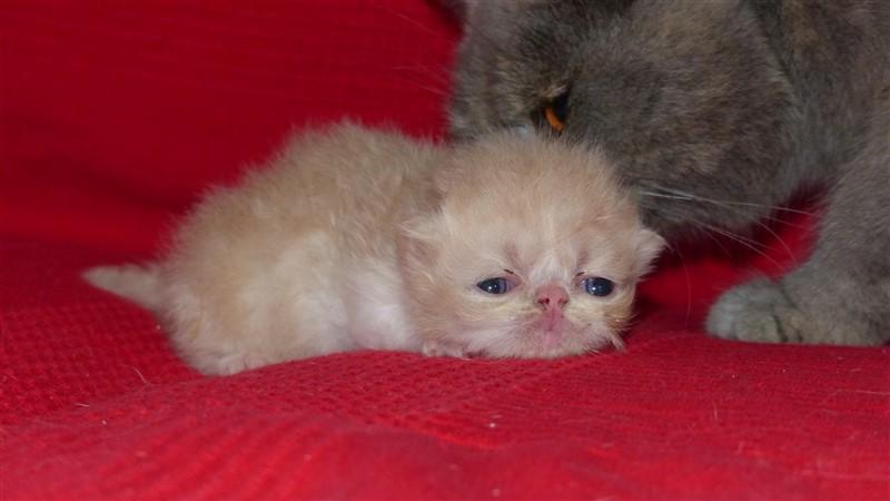 M2 mâle chaton persan crème et blanc