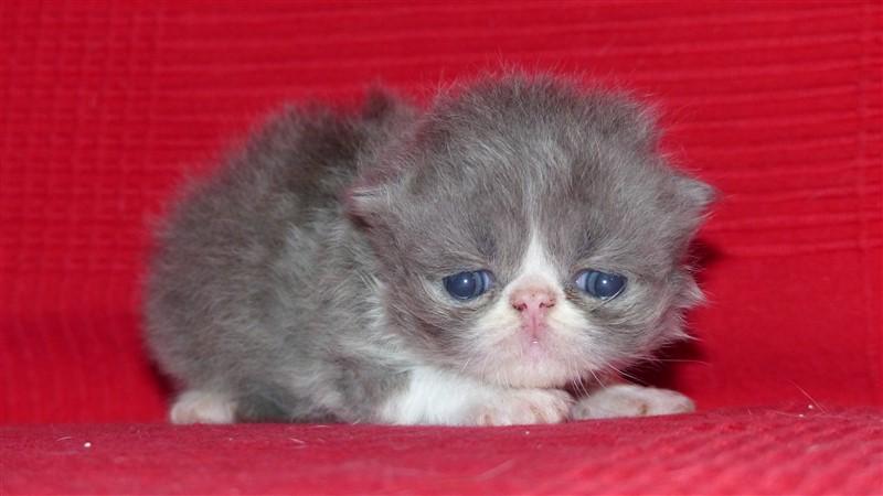 M3 Mâle chaton persan bleu et blanc
