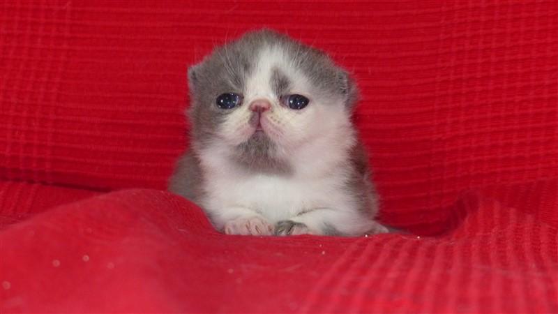 M4 Mâle chaton exotic shorthair bleu et blanc