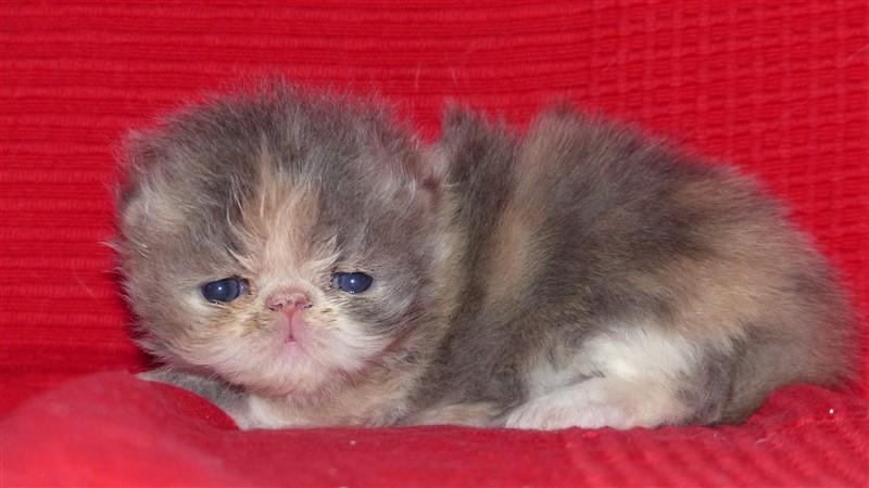 M5 Femelle chaton persan blue tortie et blanc