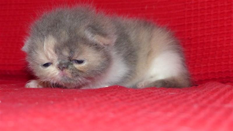 M6 Femelle chaton exotic shorthair blue tortie et blanc