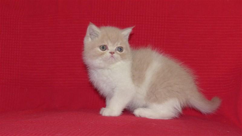 Milky Mâle chaton exotic shorthair crème blotched tabby et blanc
