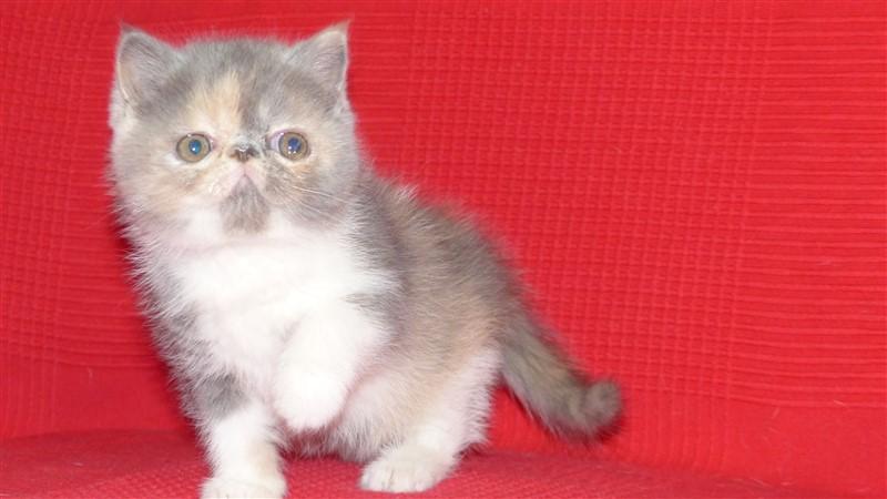 Melodie Blue Femelle chaton exotic shorthair blue tortie et blanc