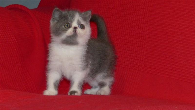 Marius Mâle chaton exotic shorthair bleu et blanc
