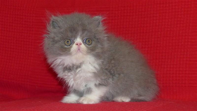 Marley Mâle chaton persan bleu et blanc