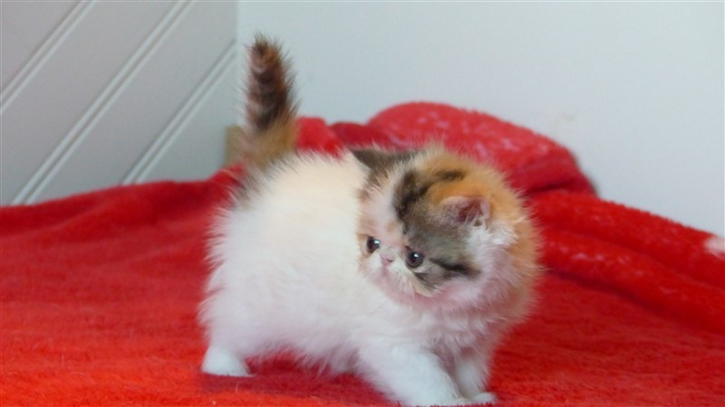 NEWFASHION, femelle exotic shorthair black tortie et blanc van