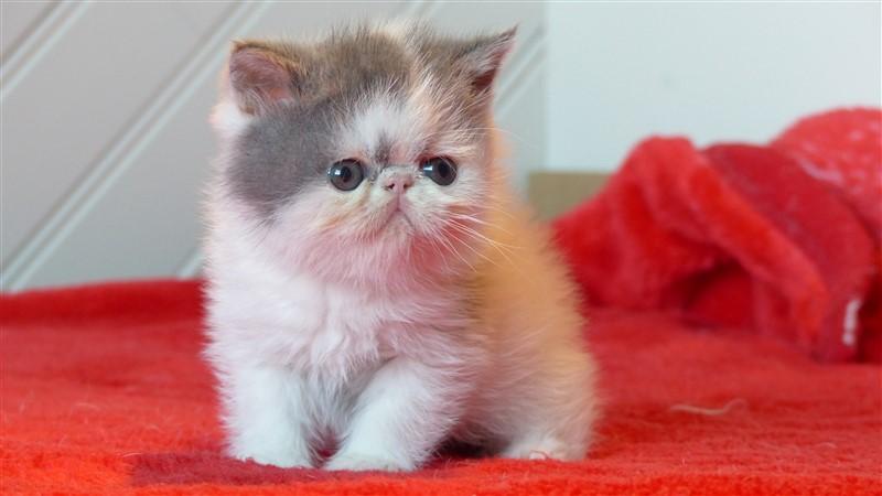 NEMO, chaton exotic shorthair, bleu et blanc van