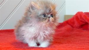 NEPTUNE, chaton mâle persan bleu et blanc