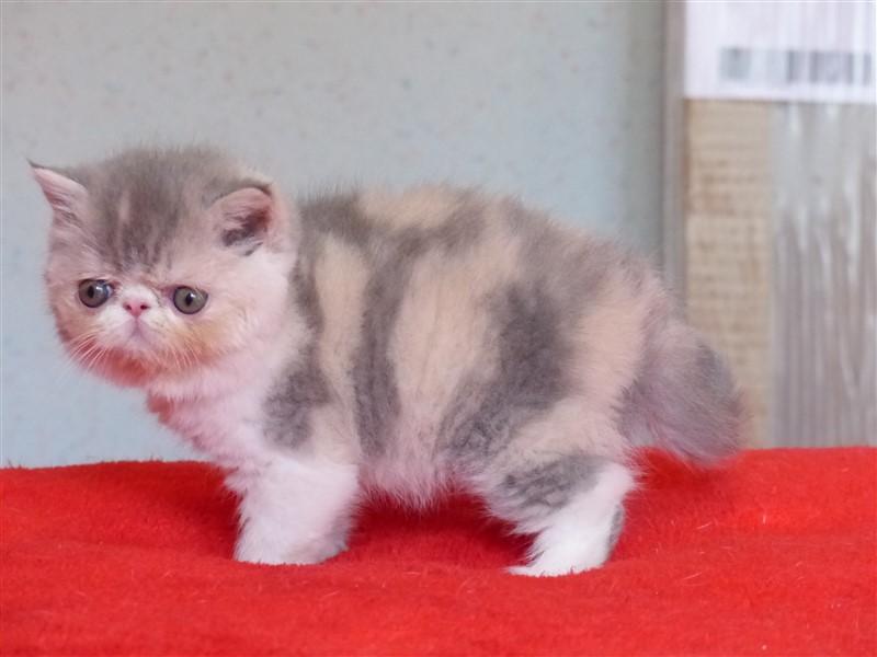 NIGHT - chaton femelle exostic shorthair blue tortie tabby et blancNIGHT - chaton femelle exostic shorthair blue tortie tabby et blanc