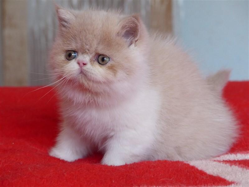 NEBULEUSE - chaton femelle exotic shorthair crème tabby et blanc