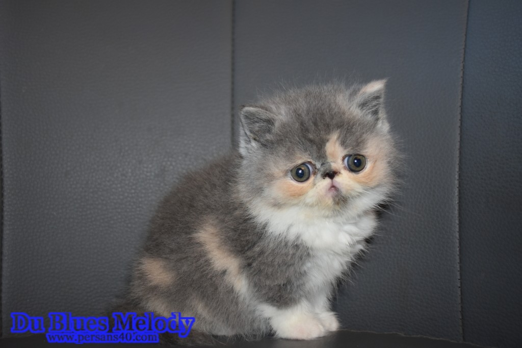 PLUME chaton exotic shorthair blue tortie et blancPLUME chaton exotic shorthair blue tortie et blanc